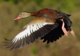 Black-bellied Whistling-Duck2.jpg