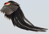 long-tailed_widowbird
