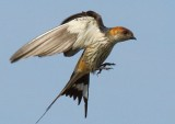 greater_striped_swallow