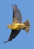 brimestone_canary