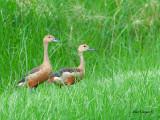 Lesser Whistling Duck -- sp 148