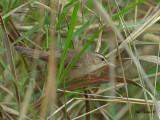 Black-browed Reed Warbler - sp 390