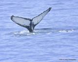 Humpback tail IMG_0940.jpg