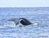 Humpback whale IMG_0502.jpg