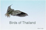 Birding in Thailand October 2012