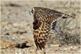 Short Eard Owl 4.jpg