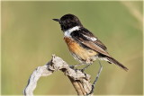 AS0F6755 Stonechat_resize.jpg