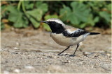 AS0F6955 Desert Wheatear_resize.jpg