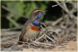 Bluethroat 2.jpg