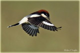 Woodchat Shrike Flight ed.jpg