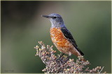 Rufous Tailed Rock Thrush
