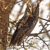 Scops Owl 5.jpg