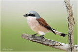 Red Backed Shrike 4.jpg