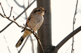 Northern Shrike / Pie grièche grise / Great grey shrike / Klapekster