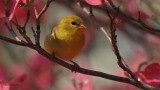 Female American  Goldfinch  on Pink Dogwood