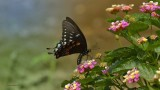 One of my favorites for 2012 - Spicebush Swallowtail on Lantana