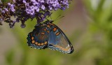 My first Red Spotted Purple in 2012
