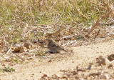Female Chestnut-collared Longspur at Ensley Bottoms, Shelby Co. TN