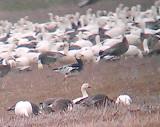 Mississippi - Blue Morph Ross's Geese
