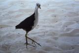 An Inquisitive Sandpiper