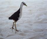 Sandpiper in profile