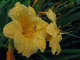 wet day lily