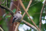 Humblot's Flycatcher (Humblotia flavirostris)