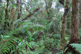 Mossy primary forest on Mt. Karthala