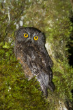 Karthala Scops Owl (Otus pauliani)