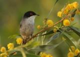Kleine Zwartkop - Sylvia melanocephala - Mediterranean Warbler