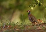 Rode Patrijs - Red-legged Partridge