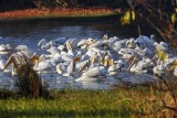 Wheeler National Wildlife refuge - 10/26/2012 - A Pelican Morning