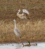 Wheeler National Wildlife Refuge-01/12/2013 Festival of Cranes