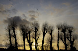 Pollarded trees against the sunset