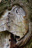 The gnarled old wound