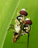 Mating Syrphids MY12 #8236