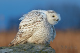 Snowy Owl Spirit Portraits