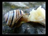 Snail munching on banana