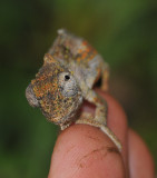 Chameleon on vinger.