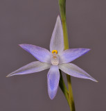 Thelymitra sp. Close-up.