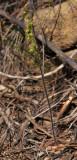 Holothrix villosa