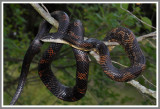 Black Rat Snake (Pantherophis obsoletus obsoletus)