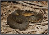Florida Green Water Snake (Nerodia floridana)