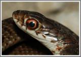 Everglades Racer (Coluber constrictor paludicola)
