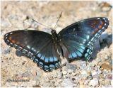 White Admiral/Red Spotted Purple Hybrid
