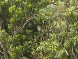 Indigosparv - Indigo Bunting (Passerina cyanea)