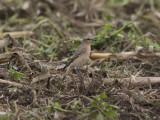 Stenskvätta - Northern Wheatear (Oenanthe oenanthe leucorhoa)