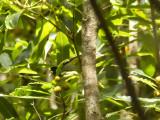 Magnoliaskogsångare - Magnolia Warbler (Setophaga magnolia)