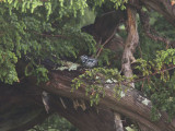 Svartvit skogssångare - Black-and-white Warbler (Mniotilta varia)