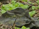 Nordlig piplärksångare - Northern Waterthrush (Parkesia noveboracensis)